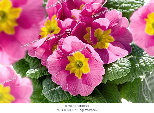 Primrose, pink-coloured, leaves, garden, lat.: Primulaceae, Fam. Primrose plants