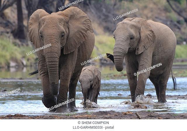 African Bush Elephant Loxodonta africana herd drinking at waterhole, Mashatu Game Reserve, Northern Tuli Game Reserve, Botswana