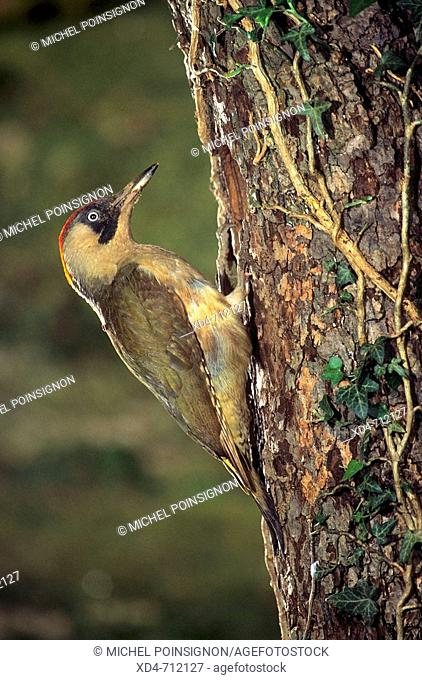 Green Woodpecker (Picus viridis) male at nest hole. Lorraine, France