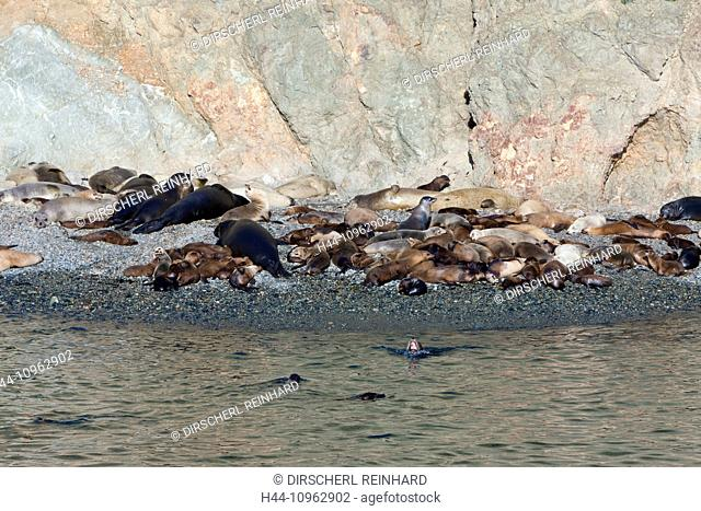 Colony of Sea Lion, Fur Seal and Elephant Seal, Zalophus californianus, Mirounga angustirostris, Arctocephalus townsendi, Cedros Island, Mexico