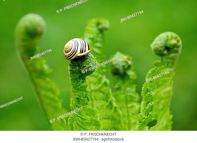 brown-lipped snail, grove snail, grovesnail, English garden snail, larger banded snail, banded wood snail (Cepaea nemoralis), on developing fern frond