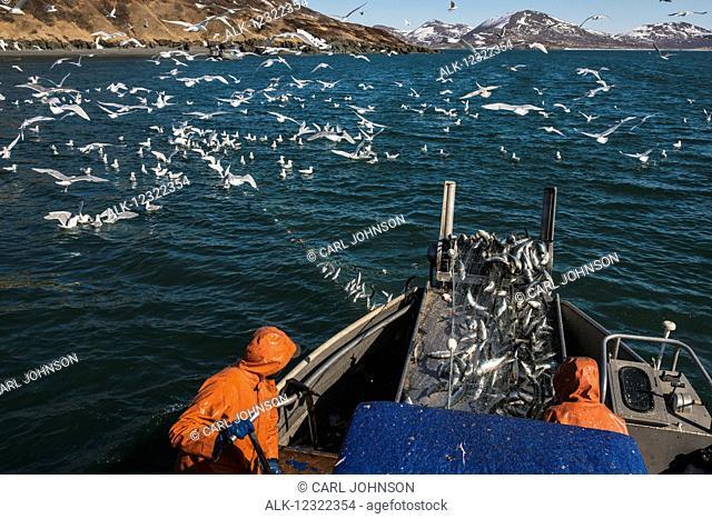 A commercial fishing crew hauls in a load of herring in Kulukak Bay in Bristol Bay, Southwest Alaska, USA