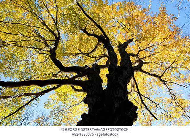 Autumn sugar maple, Quarry Park, Rocky Hill, Connecticut
