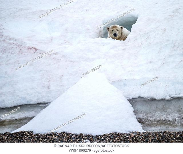 Polar bear Ursus maritimus in a small snow cave  Greenland
