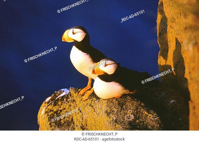 Hornd Puffins Round Island Alaska USA Fratercula corniculata