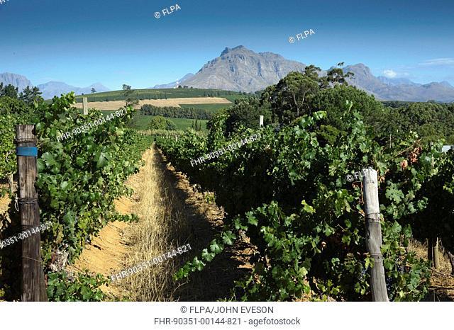 Vineyard on wine estate, rows of grape vines, Devon Valley, Stellenbosch, Western Cape, South Africa