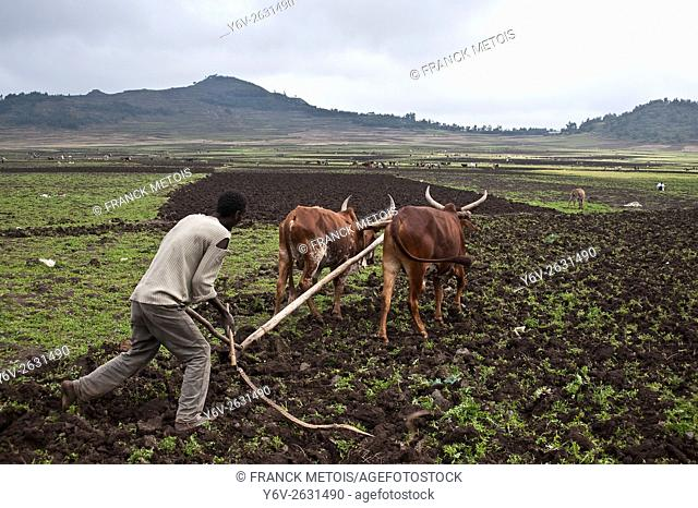 Farmer ploughing a field at Korem ( Tigray state, Ethiopia). Korem and its surroundings became famous during the 1984-1985 famine as the worst hit place
