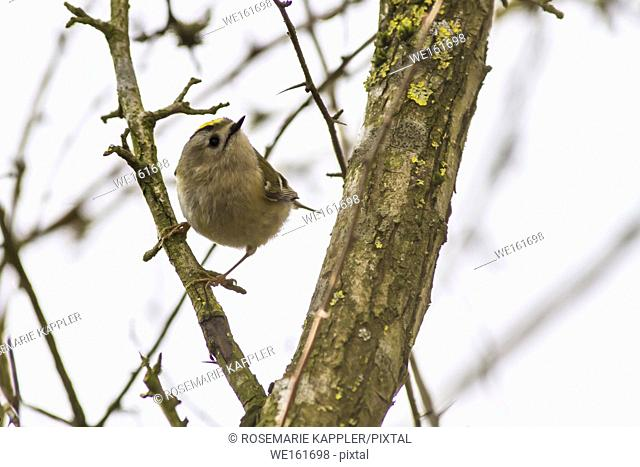 Germany, Saarland, Homburg - A goldcrest is sitting on a branch