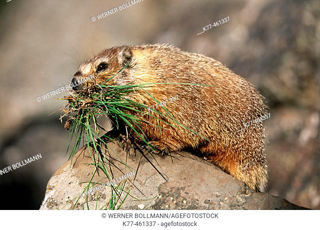 Yellow-bellied Marmots (Marmota flaviventris) with grass as store for hibernation. Yellowstone N.P., Wyoming, USA