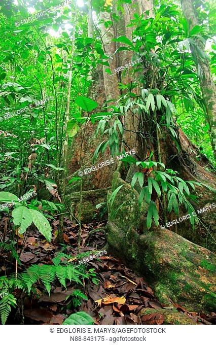 Arbol de Gyranthera caribensis Pittier, Parque Nacional Henri Pittier, Venezuela