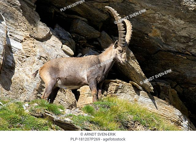 Alpine ibex (Capra ibex) male standing in rock face in summer in the Hohe Tauern National Park, Austrian Alps, Carinthia / Kärnten, Austria