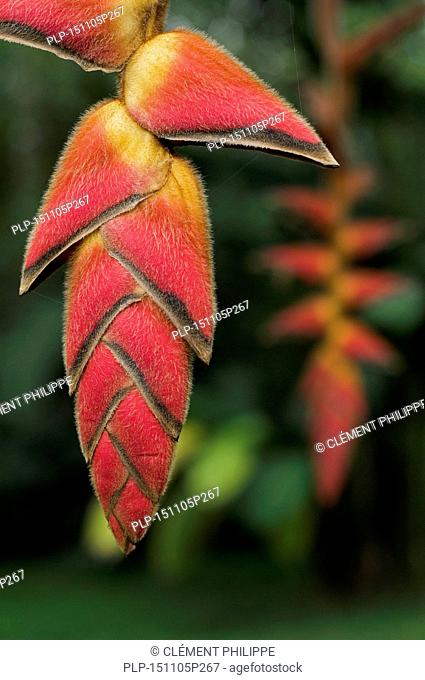 Close up of Heliconia pogonantha in flower, native to South and Central america