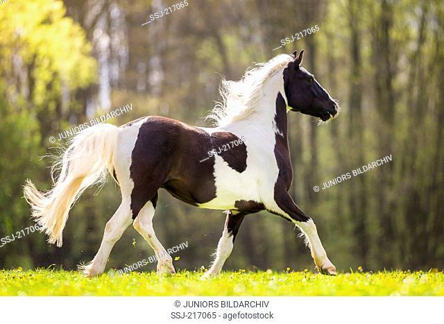 Gypsy Cob x ?. Piebald gelding trotting on a pasture. Germany