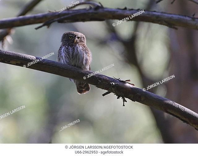Eurasian Pygmy Owl, Katrineholm, Sodermanland, Sweden