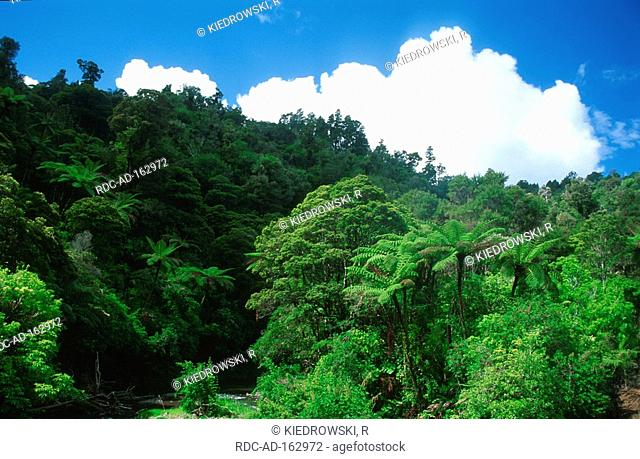 Rain forest with tree fern Whanganui national park North Island New Zealand