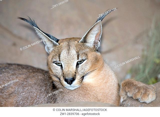 Caracal (Felis caracal) with tuft ears, Tzaneen Lion and Predator Park, near Tzaneen, Tzaneen district, Limpopo province, South Africa