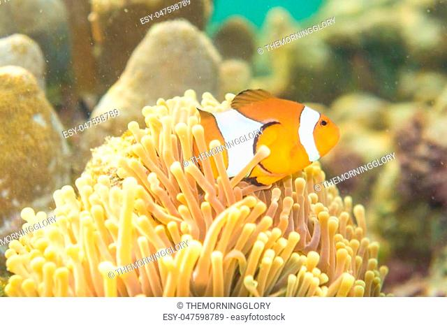 Nemo fish in front of their anemone home. Anemonefish in Andaman Sea, Lipe island, Thailand