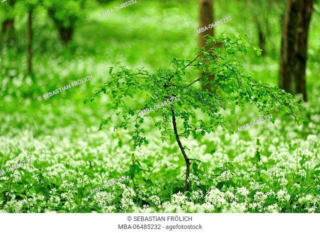 bush in a field of wild garlic