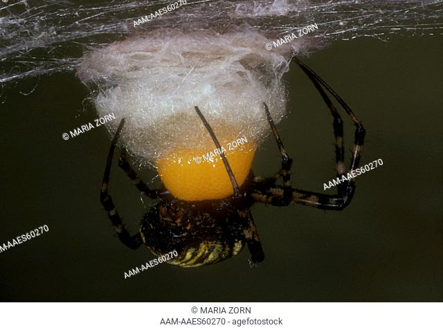 Banded Argiope Laying Eggs Canada