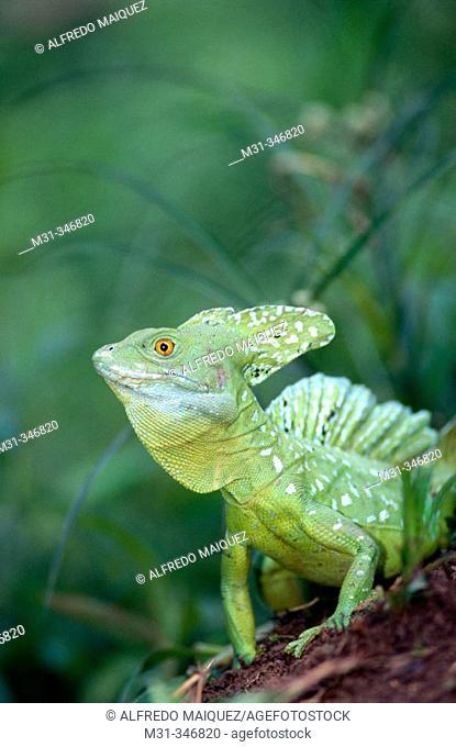 Green Basilisk (Basiliscus plumifrons). Osa peninsula, Costa Rica