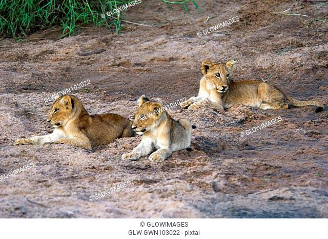 Three lion Panthera leo cubs sitting in a forest, Motswari Game Reserve, Timbavati Private Game Reserve, Kruger National Park, Limpopo, South Africa