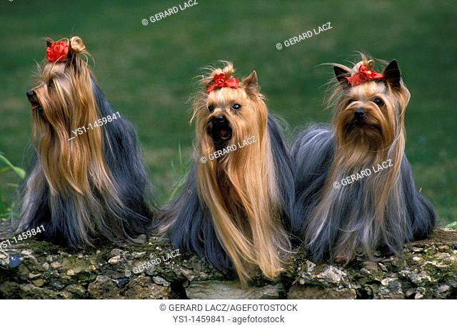 YORKSHIRE TERRIER, ADULTS STANDING ON STONE