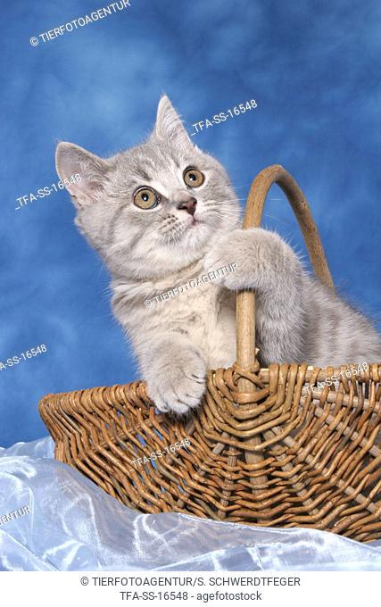 british shorthair kitten in basket