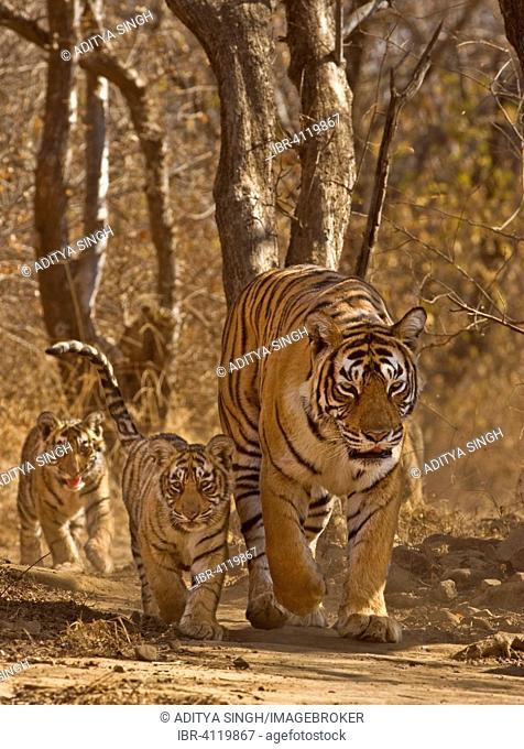 Bengal Tiger (Panthera tigris tigris), tigress with three young cubs, Ranthambhore National Park, Rajasthan, India