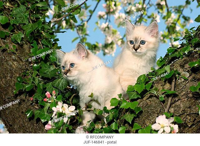 two sacred cat of burma kitten - standing on tree