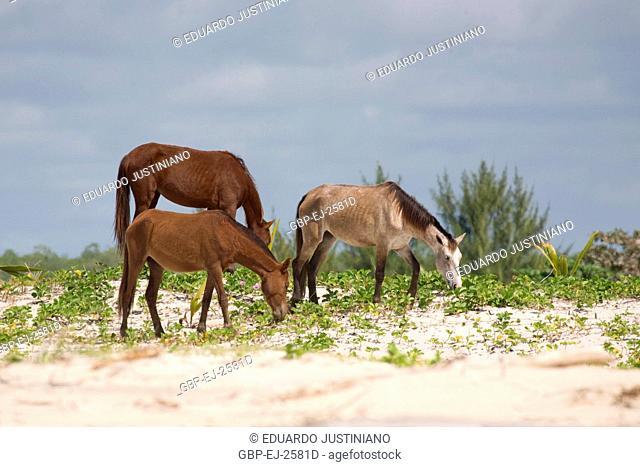 Horses Grazing on in Front Vegetation of Dune, Canavieiras, Bahia, Brazil