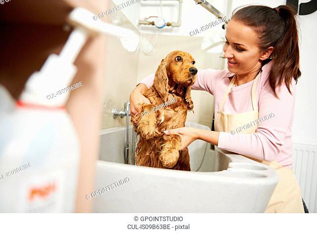 Female groomer bathing cocker spaniel in bath at dog grooming salon