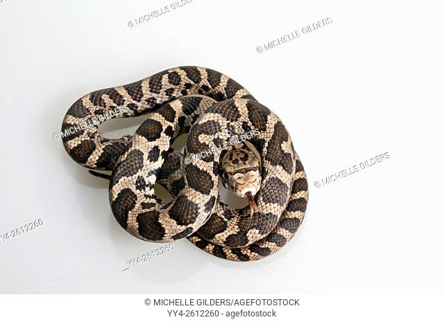 Western fox snake, Elaphe vulpina, juvenile fox snake; native to central USA; cutout with white background