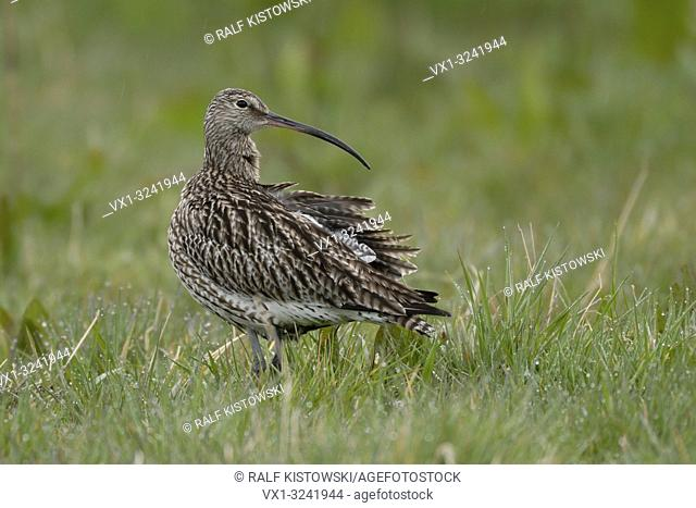 Rare Eurasian curlew (Numenius arquata) in rain on a natural meadow looking back