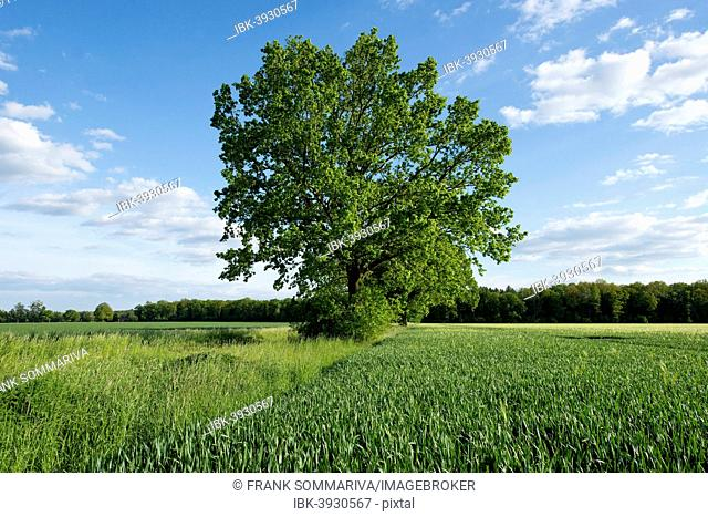 Solitary Pedunculate Oak (Quercus robur) in a field, Lower Saxony, Germany