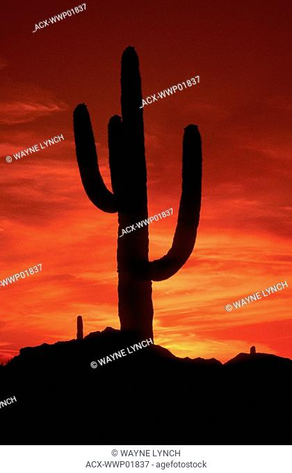 Sunrise saguaro cactus Carnegiea gigantea, Sonoran Desert, southern Arizona USA