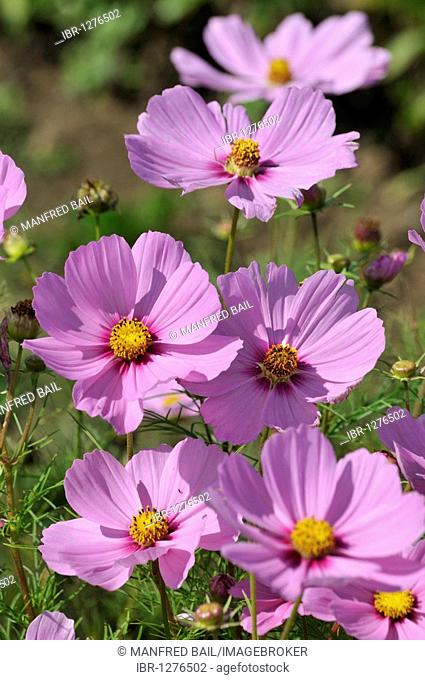 Asters (Aster)