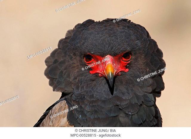 Bateleur Eagle (Terathopius ecaudatus) adult, Kgalagadi Transfrontier Park, Northern Cape, South Africa