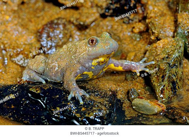 yellow-bellied toad, yellowbelly toad, variegated fire-toad (Bombina variegata), dark pigmented albino by the waterside, Germany