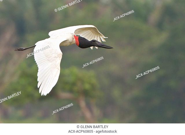Jabiru Jabiru mycteria flying in a march in Costa Rica