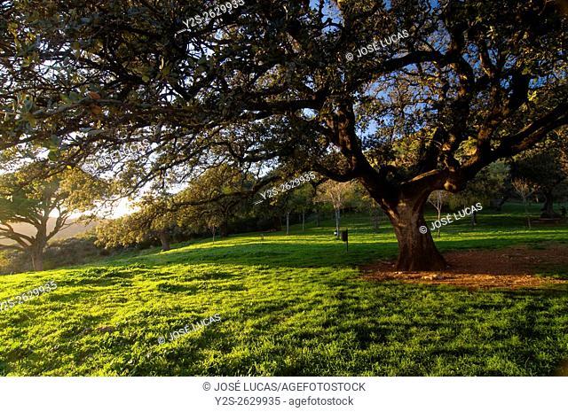 Old tree in the «Peña de Arias Montano», Alajar, Huelva province, Region of Andalusia, Spain, Europe