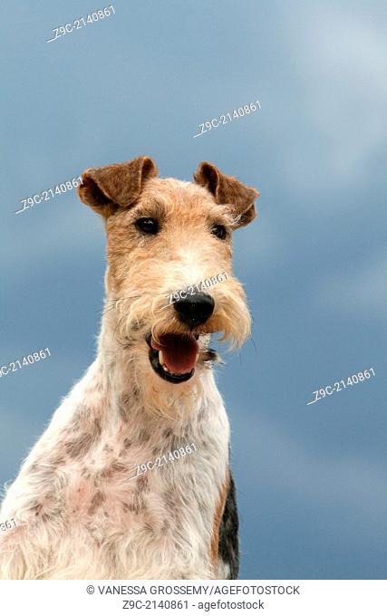 Dog Wire Fox Terrier / adult portrait