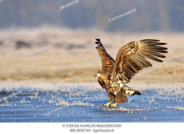White-tailed Eagle (Haliaeetus albicilla), Poland