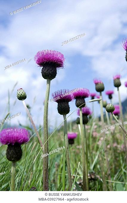 mountain-thistle, Carduus defloratus