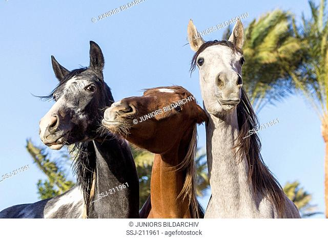 Arabian Horse. Three young mares standing next to each other, portrait. Egypt