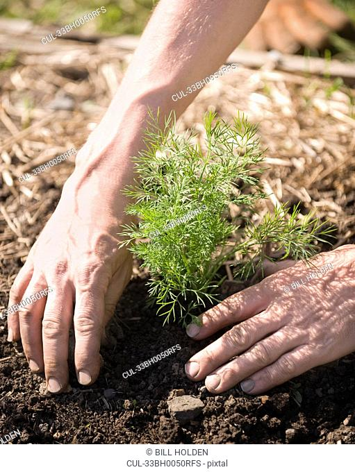 Hands planting tree in soil