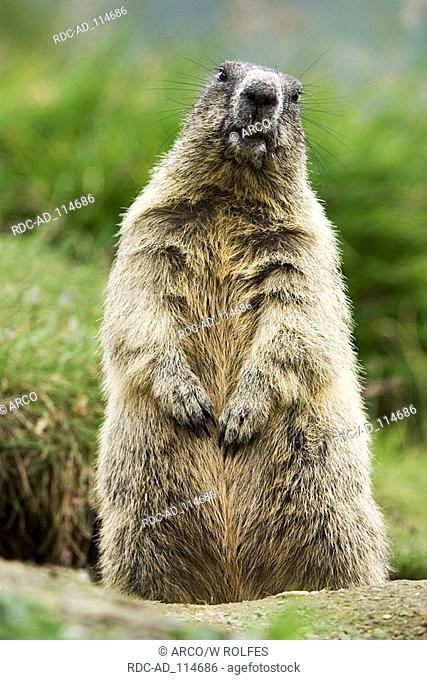 Alpine Marmot Grossglockner national park Hohe Tauern Austria Marmota marmota alps