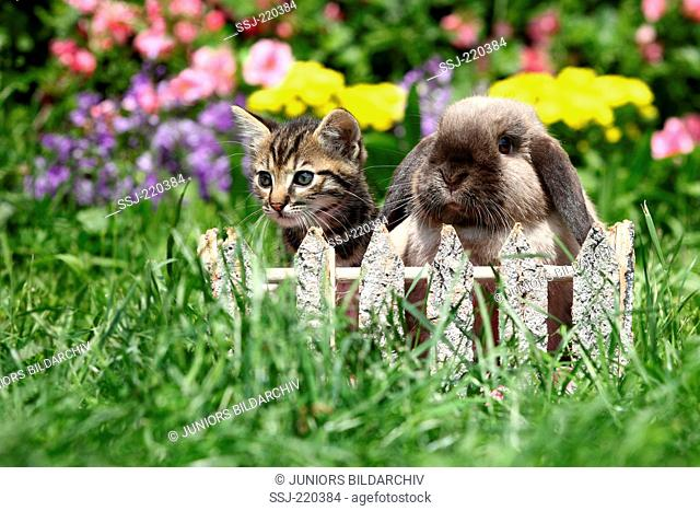 Domestic cat and Dwarf Rabbit. Kitten (6 weeks old) and Mini Lop sitting behind a small wooden fence in a garden. Germany