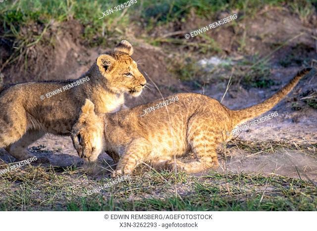Lion cubs (Panthera leo) playing in Maasai Mara National Park, Kenya, Africa