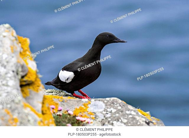 Black guillemot / tystie (Cepphus grylle) resting on rock ledge in sea cliff, Shetland Islands, Scotland, UK