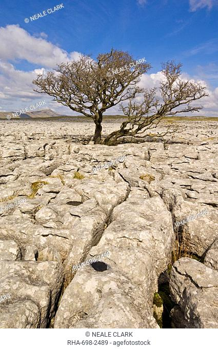 Tree growing through the Limestone pavement of White Scars, Yorkshire Dales National Park, Yorkshire, England, United Kingdom